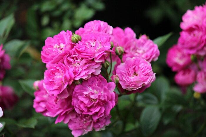 ひこぼし(大苗予約)7号鉢植え 四季咲き シュラブ・ラージフラワードクライマー バラ苗