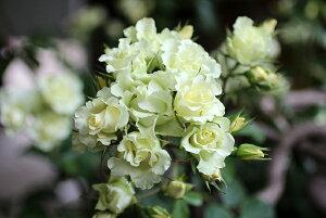 一葉(いちよう)(大苗予約)7号鉢植え フロリバンダローズ(四季咲き中輪房咲きバラ)禅ローズ バラ苗