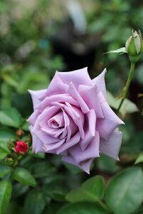 青のレクイエム(大苗予約)7号鉢植え ハイブリッドティーローズ(四季咲き大輪花バラ) 禅ローズ  バラ苗