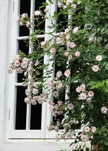 南部ざくら(なんぶざくら)(大苗予約)7号鉢植え 春咲き ハイブリッドムルティフローラ バラ苗
