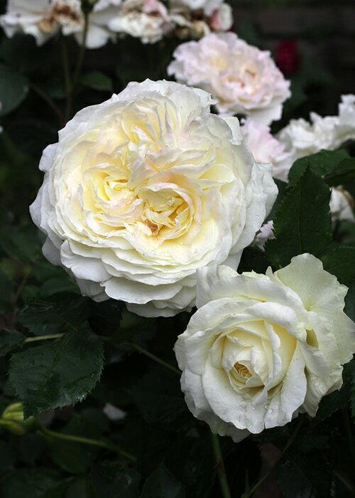 ノース・フレグランス (大苗予約)7号鉢植え フロリバンダローズ(四季咲き中輪房咲き系) バラ苗