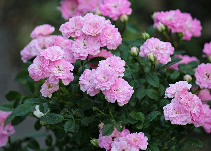 おりひめ(大苗予約)7号鉢植え 四季・返り咲き シュラブ・ミニチュア バラ苗