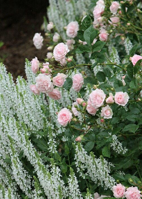 ピンク・キャット (大苗予約)7号鉢植え ポリアンサ 四季咲き バラ苗