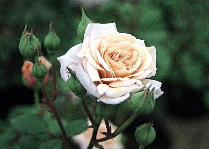 レトランジェ(大苗予約)7号鉢植え 四季咲き ミニチュア バラ苗