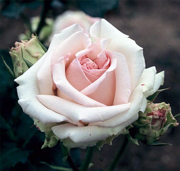 ロマンティック・エンジェル (大苗予約)7号鉢植え ハイブリッドティーローズ(四季咲き大輪花バラ) バラ苗