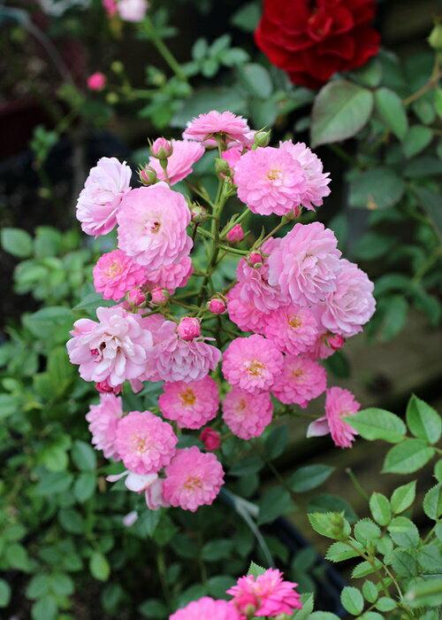 ロゼ・ダンジェ(大苗予約)7号鉢植え 四季咲き ポンポン咲き シュラブ・ミニチュア バラ苗