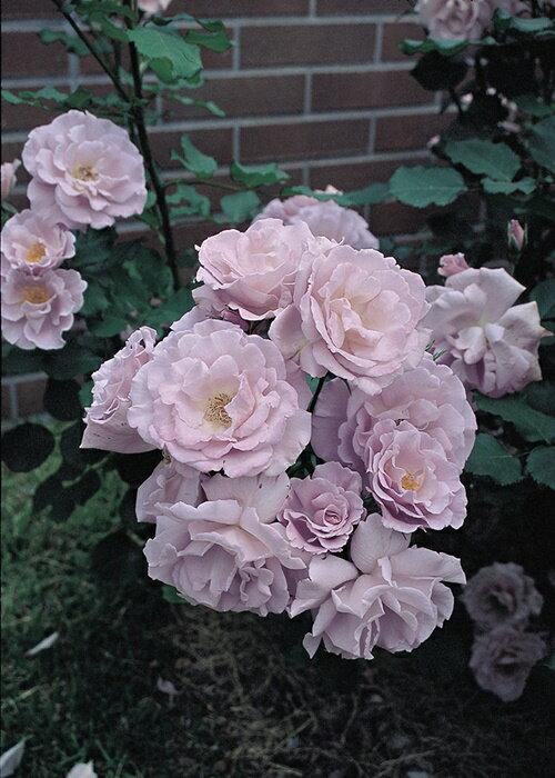 涼(大苗予約)7号鉢植え フロリバンダローズ(四季咲き中輪房咲き系) バラ苗
