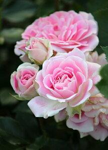 シェアリング・ア・ハピネス(大苗予約)7号鉢植え  四季咲き中輪房咲き系(フロリバンダローズ)スプレー咲き バラ苗