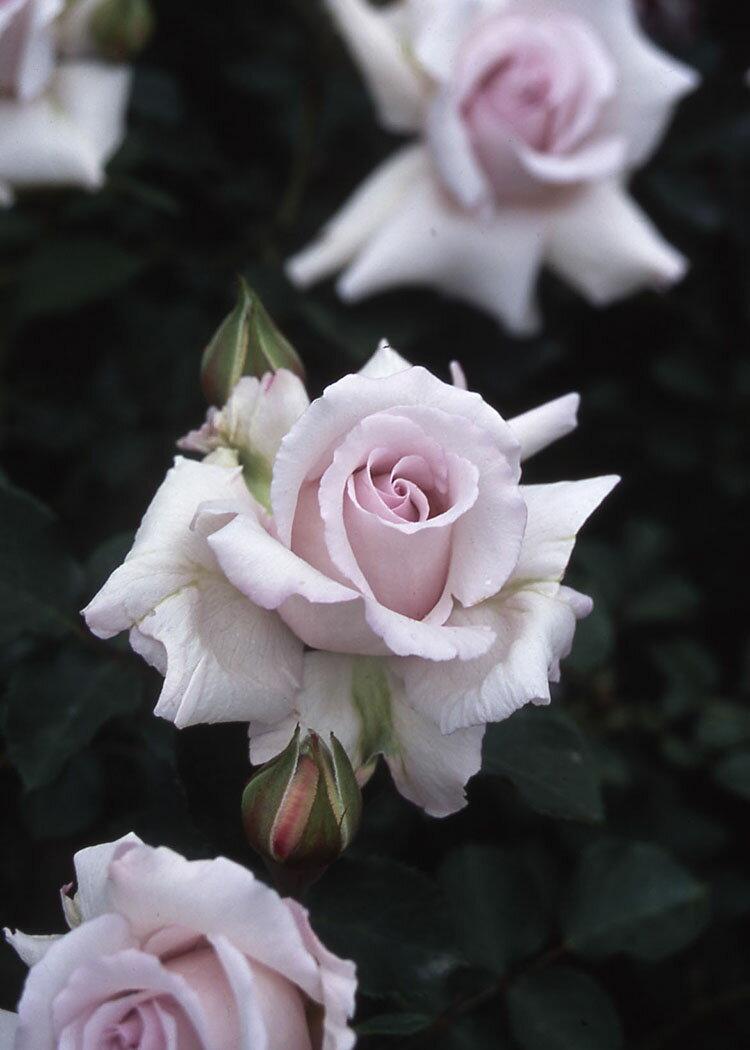 志野 しの (大苗予約)7号鉢植え フロリバンダローズ(四季咲き中輪房咲き系) バラ苗