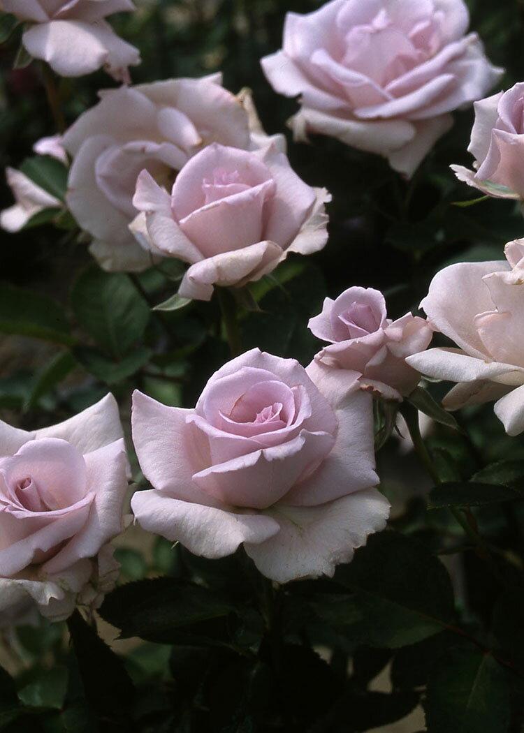 サムシング・ブルー(大苗予約)7号鉢植え ハイブリッドティーローズ(四季咲き大輪花バラ) バラ苗