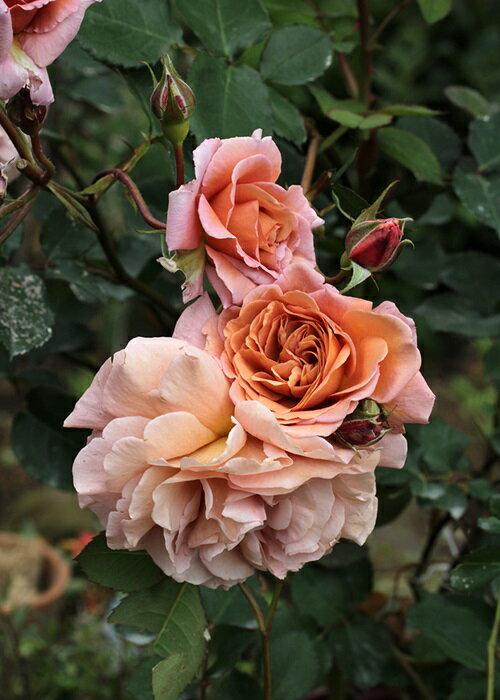 空蝉(大苗予約)7号鉢植え フロリバンダローズ(四季咲き中輪房咲き系) バラ苗