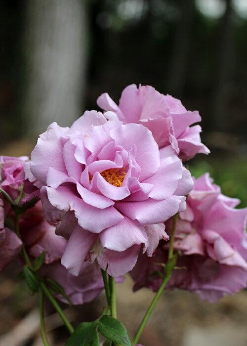 若紫(わかむらさき)(大苗予約)7号鉢植え フロリバンダローズ(四季咲き中輪房咲系) バラ苗