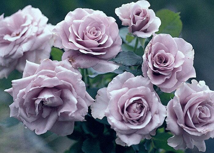わたらせ (大苗予約)7号鉢植え ハイブリッドティーローズ(四季咲き大輪花バラ) バラ苗
