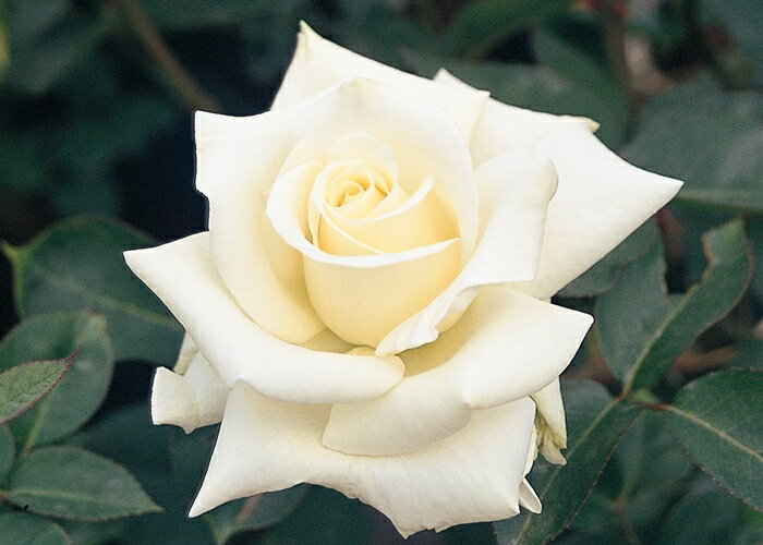 ホワイト・キャット(大苗予約)7号鉢植え ハイブリッドティーローズ(四季咲き大輪花バラ) バラ苗