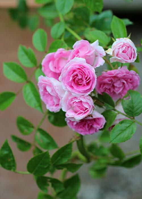 ユキコ (大苗予約)7号鉢植え ハイブリッドウィクラナ 春咲き バラ苗