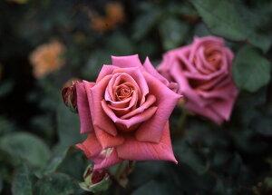 禅(大苗予約)7号鉢植え  四季咲き中輪房咲き系(フロリバンダローズ)スプレー咲き バラ苗