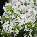 イブキジャコウ草 白花