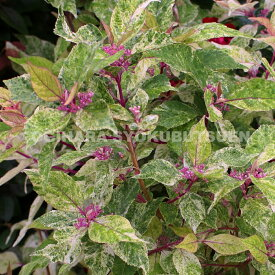 ムラサキシキブ 紫々紫(シジムラサキ)