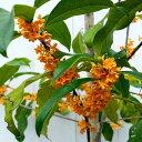 キンモクセイ 3.5号 苗木 金木犀 秋の香りの木 オレンジ花 常緑樹 庭木 9.29