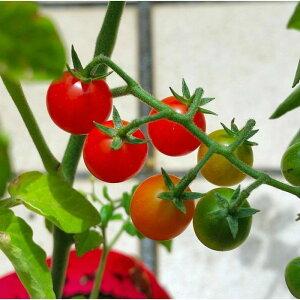 野菜苗 ミニミニトマト つぶらなトマト 苗 ミニトマト マイクロトマト 3.5号 家庭菜園 0504