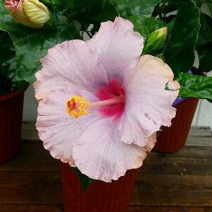 ハイビスカス K-ブルー 5号鉢 ピンクパープル 青花 夏の花 苗 鉢花 0722
