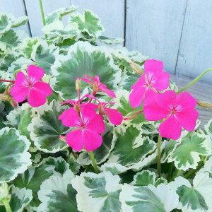 花苗 ゼラニウム 斑入り リアミントン ピンク花 カラーリーフ 3.5号 苗 0601