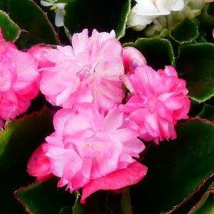 花苗 ベゴニア パソダブル ローズ 八重咲き ローズ 3.5号 夏の花 花壇苗 ピンク 0601