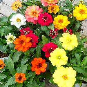 花苗 百日草 ジニア 花色お任せ 3色セット プロフュージョン 苗 3.5号ポット 秋まで咲く 0601