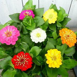花苗 ジニア プレシオーサ 3色花色お任せセット 百日草 苗 3.5号ポット 秋まで咲く 0608