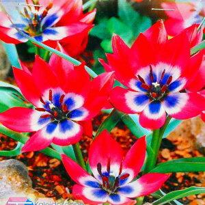 チューリップ 球根 原種チューリップ リトルビューティー 10球 ピンク 秋植え 球根 山野草 宿根草 0910