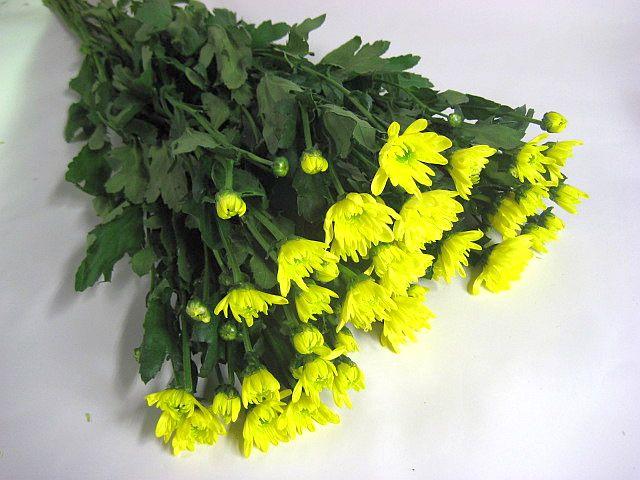 スプレーギクキイロ(イエローモナリザ(ヤYなど5本 切花 生け花 花材