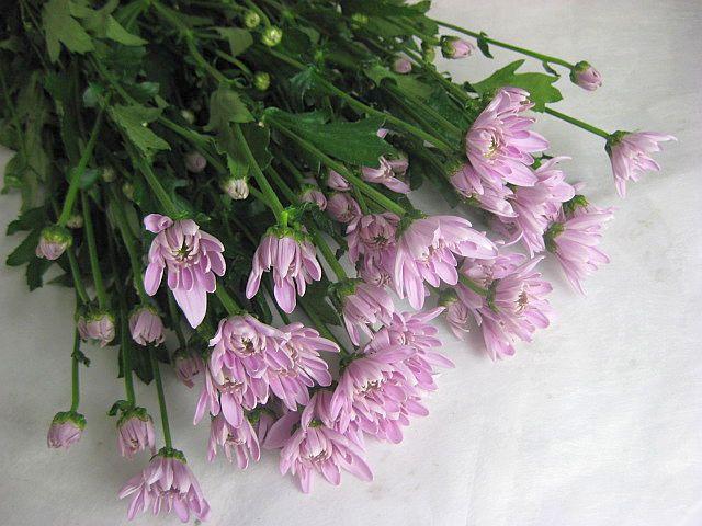 スプレーギクピンク(Pモナリザ(ヤLPなど5本 切花 生け花 花材