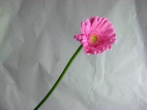 ガーベラミニ(キムシー(Pなど5本 切花 生け花 花材