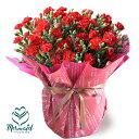 【まだ間に合う!母の日ギフト】母の日 カーネーション フラワー ギフト 花 7号 鉢花 フラワー 選べる3色 エレガントなラッピング付き …