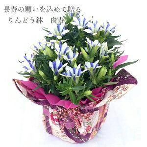 敬老の日花りんどう鉢『白寿』【送料無料】花フラワーりんどう同梱オプション追加OK