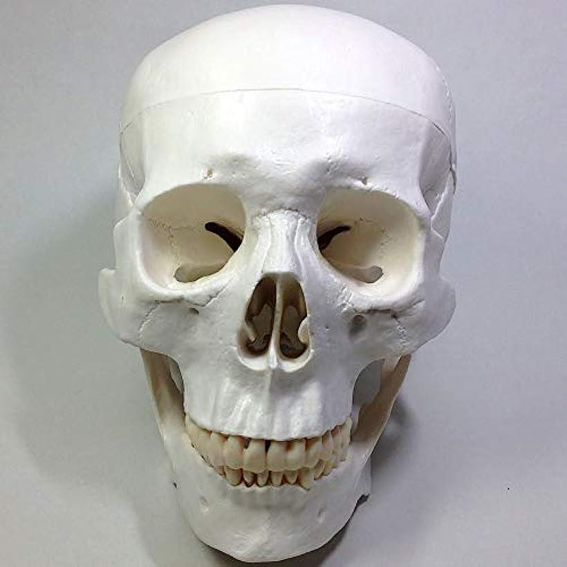実物大 超精密 頭蓋骨 模型 可動 タイプ 歯科 耳鼻科 眼科 学校教材用 頭部 プロップ 骸骨 髑髏 ドクロ スカル ガイコツ 目印に便利、「ホナまたステッカー」付き.(ホワイト, M)