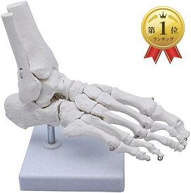 足骨モデル 足骨模型 関 節模型 足首 右足 標本 稼動タイプ(足首 稼動タイプ)