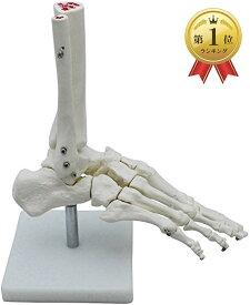 足骨モデル 足骨模型 関 節模型 足首 右足 標本 固定タイプ(足首 固定タイプ)