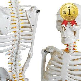 人体骨格模型 骨格標本 稼動 直立 スタンド 教材 85cm 1/2 モデル ホワイト 台座・四角(ホワイト 台座・四角)