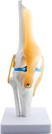 膝関 節模型 ひざ 靭帯 半月板 医療 学習用 モデル 台座 固定(台座 固定)
