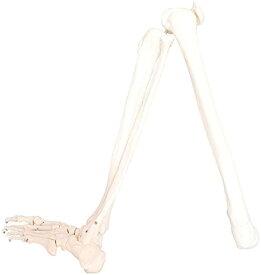 人体模型 下肢骨 大腿骨 脛骨 足骨 等身大 86cm ワイヤーつなぎ モデル 左足