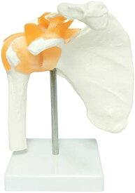 肩甲骨 肩関節 鎖骨 模型 モデル 人体 骨格模型 標本 靭帯 医学 学習用 稼動 右肩 台座 取外し(右肩 台座 取外し)