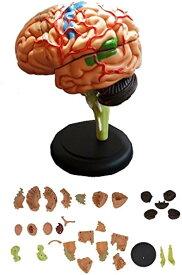 脳 模型 32パーツ 分解 モデル 人体模型 立体 脳みそ リアル(脳 模型)