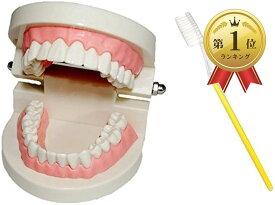 c my select 歯 模型 歯列模型 歯模型 モデル 180度 開閉式 歯ブラシ セット MDM(1:歯ブラシセット, 実物大)