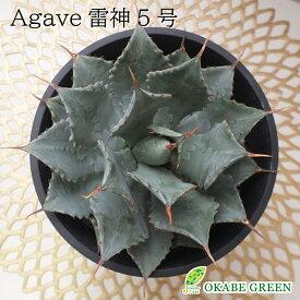 アガベ 雷神 5号サイズ 黒プラスチック鉢 多肉植物 観葉植物 母の日 父の日 ギフト おしゃれ 送料無料