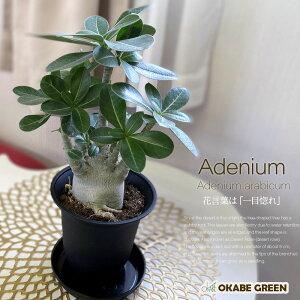 アデニウム アラビカム 4.5号 砂漠のバラ 黒プラスチック鉢 多肉植物 人気 観葉植物 おしゃれ 鉢植え お祝い 誕生日プレゼント 贈り物 インテリア ディスプレイ 送料無料