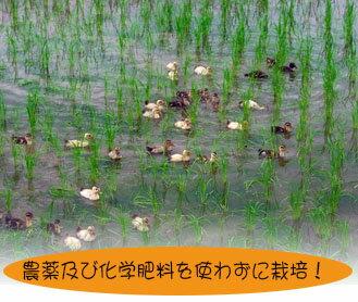 【無農薬】H29年熊本県産 合鴨米 ヒノヒカリ 玄米5kg【おいしいお米】【九州産 米】【全国送料無料】