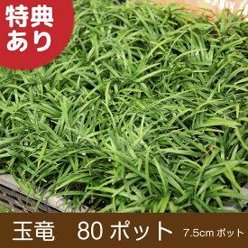 玉竜 80ポット 送料無料(関東・東海・関西・北陸) 自家栽培 高品質 タマリュウ ポットタイプ