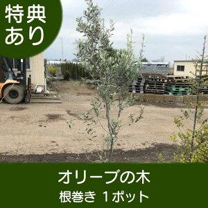 高品質 オリーブの木 根巻きタイプ 1ポット 樹高120cm前後 送料無料(関東・東海・関西・北陸・信越に限り) レビューを書いて特典あり! シンボルツリー おしゃれ 庭 鉢植え 常緑樹 観葉植物 苗