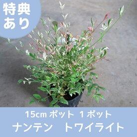 【ナンテン】トワイライト 15cmポット 1ポット 高品質 多年草  レビューを書いて特典あり 斑入り 南天 紅葉
